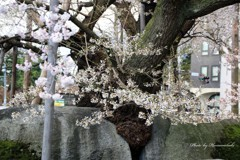 みちのくの春 - 石割桜Ⅱ
