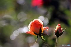 薔薇のメロディー XIX