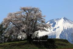 為内の一本桜 - Ⅴ