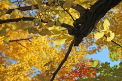 秋彩探し - 黄葉