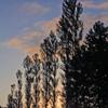 ポプラ並木の夜明け
