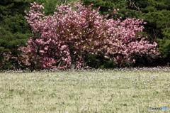 高森高原の春 - アズマギクⅡ