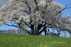 為内の一本桜 - Ⅶ