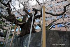 みちのくの春 - 石割桜Ⅰ
