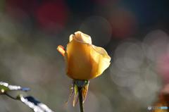 薔薇のメロディーXVI