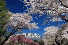 小岩井農場 - 桜