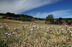 高森高原の春 - アズマギク
