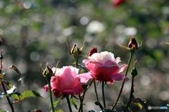 薔薇のメロディー XII