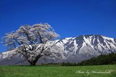 小岩井農場 - 一本桜