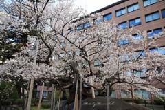 みちのくの春 - 石割桜Ⅲ