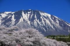 小岩井農場 - 桜2