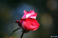 薔薇のメロディー XVIII