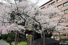 2016盛岡「石割桜」