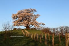 為内の一本桜 - Ⅱ