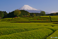 茶畑で富士山