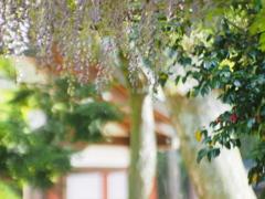 Japanese wisteria Ⅱ