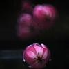 tulip・・延着です。