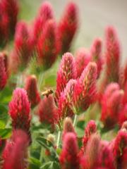 紅花詰草(ストロベリーキャンドル)・・延着です。