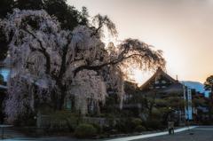 桜樹の下で・・・ #2