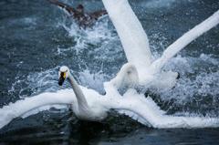 Battle  Swan