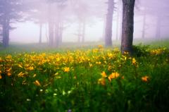 霧中のニッコウキスゲ