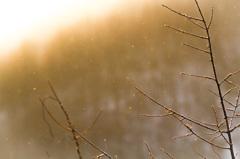黄金の粉雪