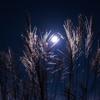 名月に輝くススキ