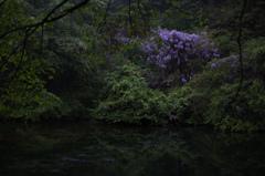 水辺に咲く山藤