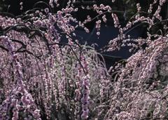 春、梅の香り。