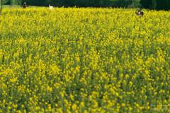 黄色い春色