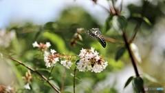 引き気味な蝶~ⅳ