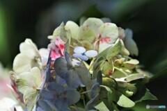 終期の紫陽花