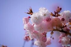 八重桜便り~ⅻ