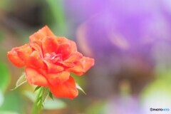 ミニ薔薇、、、。