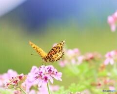 豹紋蝶~ⅱ