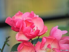 冬の薔薇~ⅲ