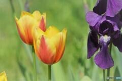 隣同士の国の花