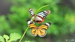 冬の蝶~⑬