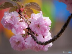虹色、関山桜~ⅱ