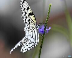 冬の蝶~⑲