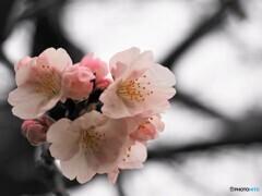 令和オオカン桜