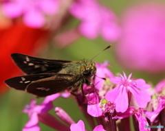 皐月蝶ーセセリ蝶ー2