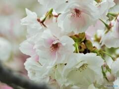 化粧桜~ⅱ