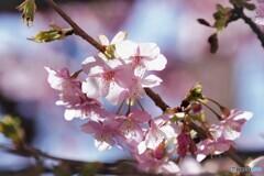 団地内の河津桜~ⅱ