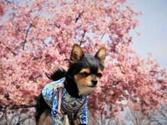 河津桜をバックに。