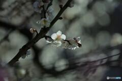 まだ輝く梅花~ⅱ
