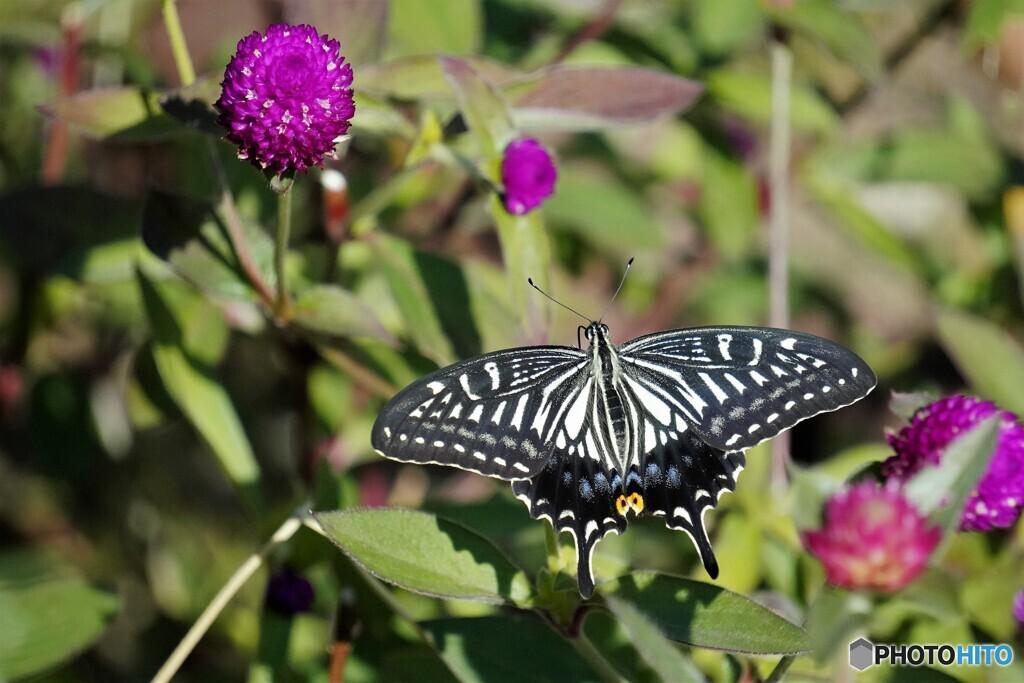 晩秋のアゲハ蝶