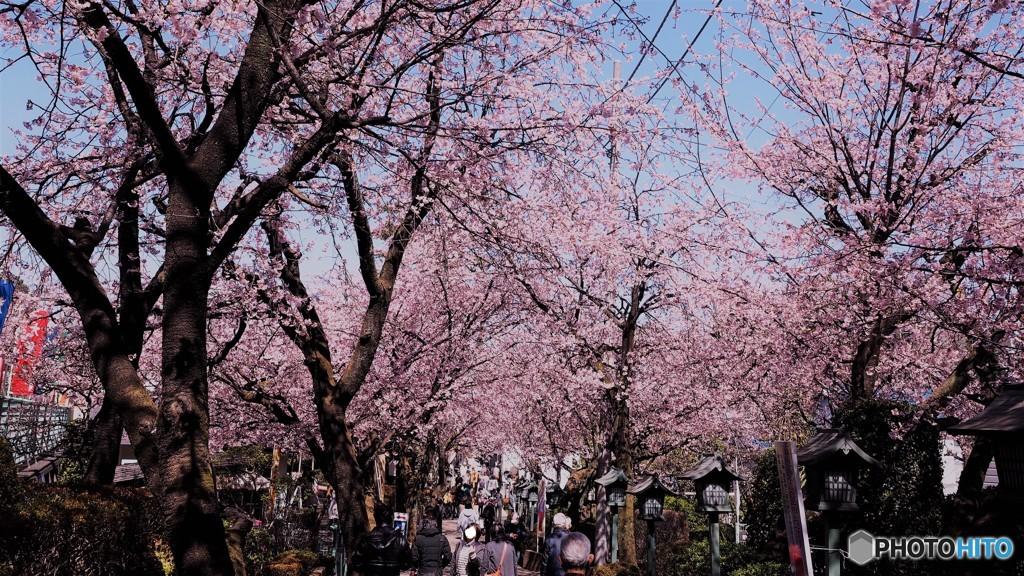安行桜~ⅰ
