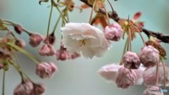 平成最後を咲く桜達~lxii