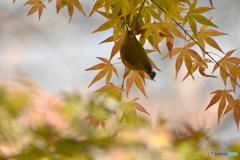 楓の中で-②